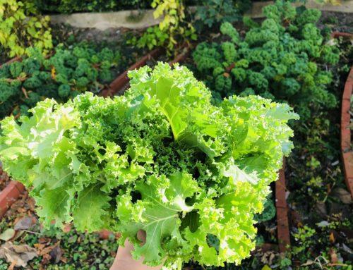 Grünkohl – heimisches Superfood, vielseitig und gesund! ;-)